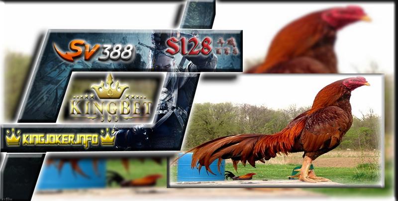 Situs Adu Ayam Sv388 Info 7 Ciri Ayam Bangkok Kualitas Tinggi