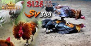 Sabung S128 Ayam